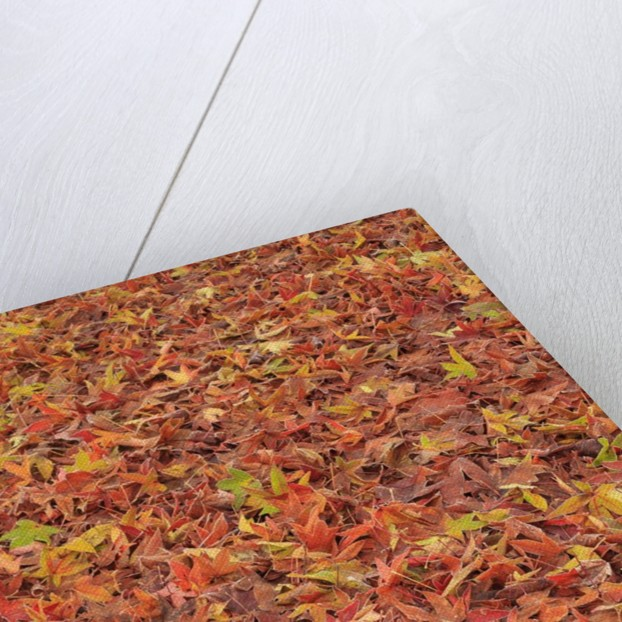 Maple Leaves carpet covered in frost Mill Creek, Washington, USA by Corbis