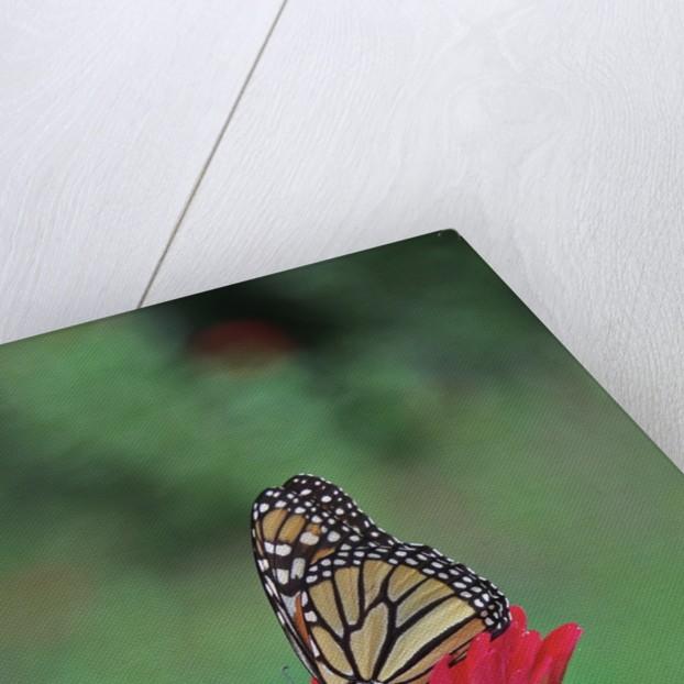 Monarch butterfly on flower by Corbis