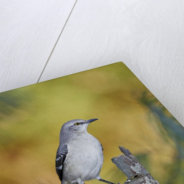 Northern Mockingbird by Corbis