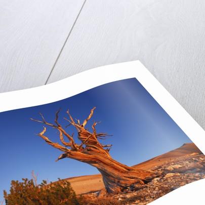 Bristlecone Pine (pinus longaeva) in the White Mountains by Corbis