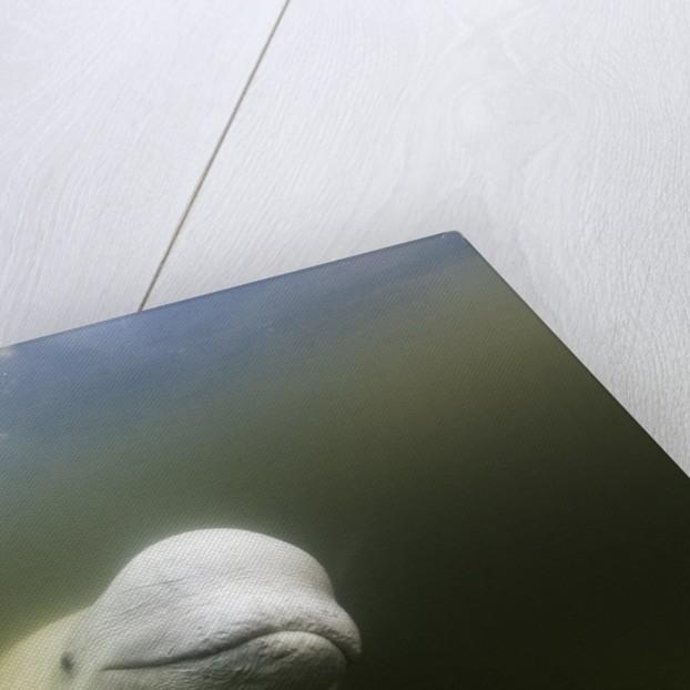 Beluga Whale, Hudson Bay, Canada by Corbis