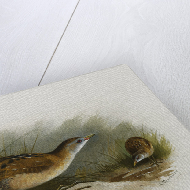 A Little Crake by Archibald Thorburn