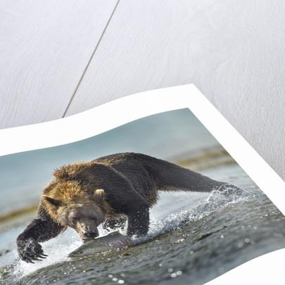 Brown Bear and Salmon, Katmai National Park, Alaska by Corbis