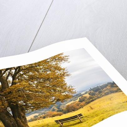 Beech tree in atumn by Corbis