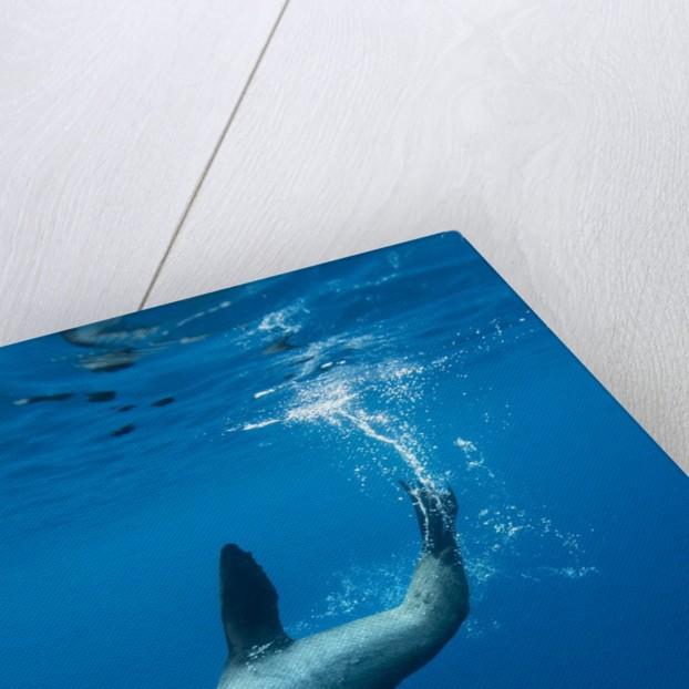 Underwater Sea Lion, Diego Ramirez Island, Chile by Corbis
