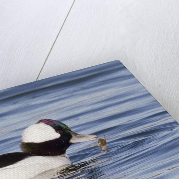 Male Bufflehead Duck eating crab by Corbis