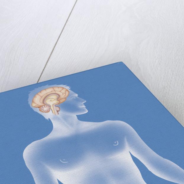 Brain, drawing by Corbis