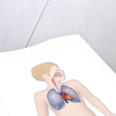 Thorax, anatomy by Corbis