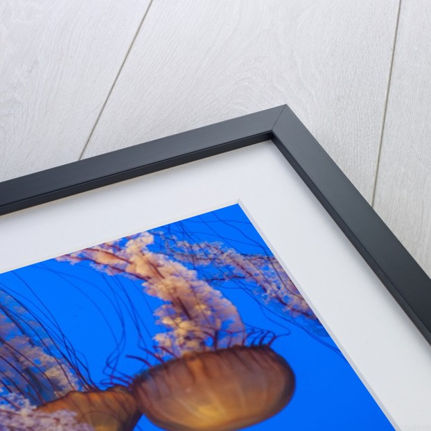 Lion's mane Jellyfish by Corbis