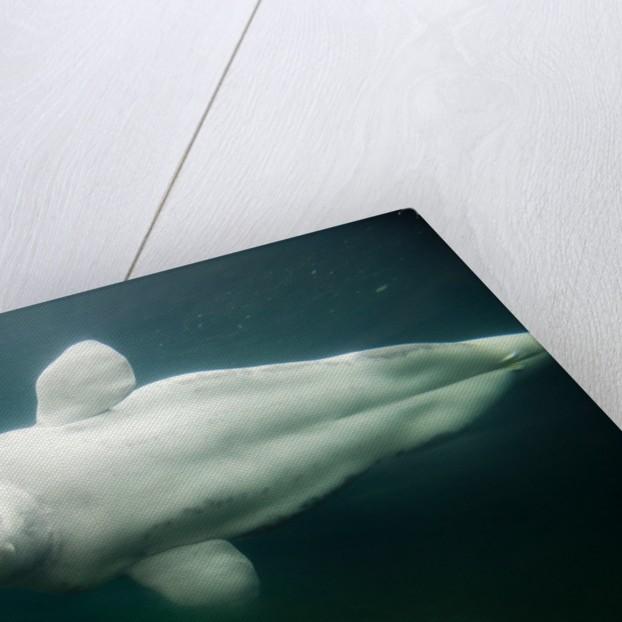 Beluga Whale, Mystic Aquarium, Connecticut by Corbis