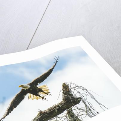 American Eagle by Corbis