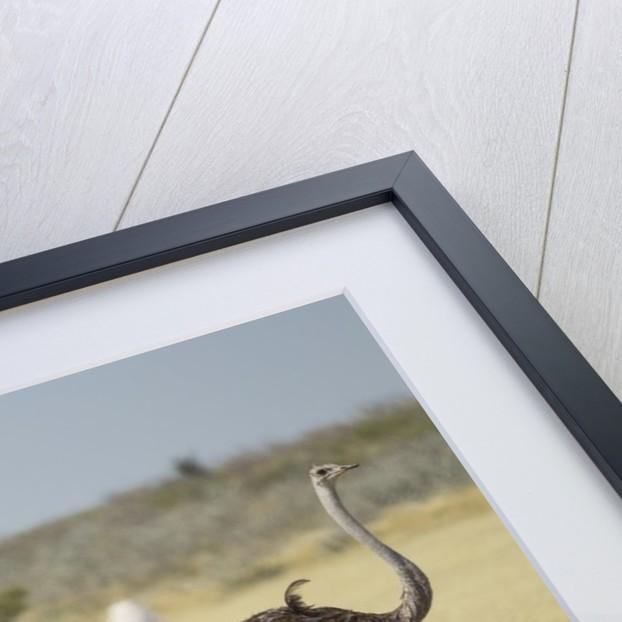 Ostriches by Corbis