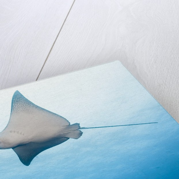 Spotted eagle rays by Corbis
