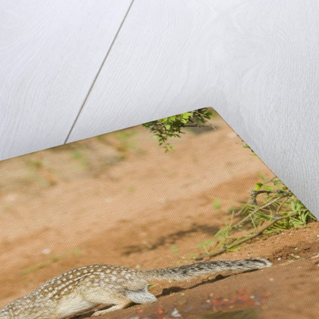 Mexican Ground Squirrel by Corbis