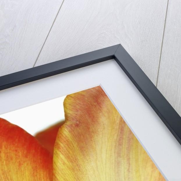 Tulip by Corbis