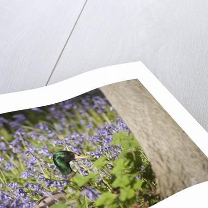 Duck in bluebells by Corbis