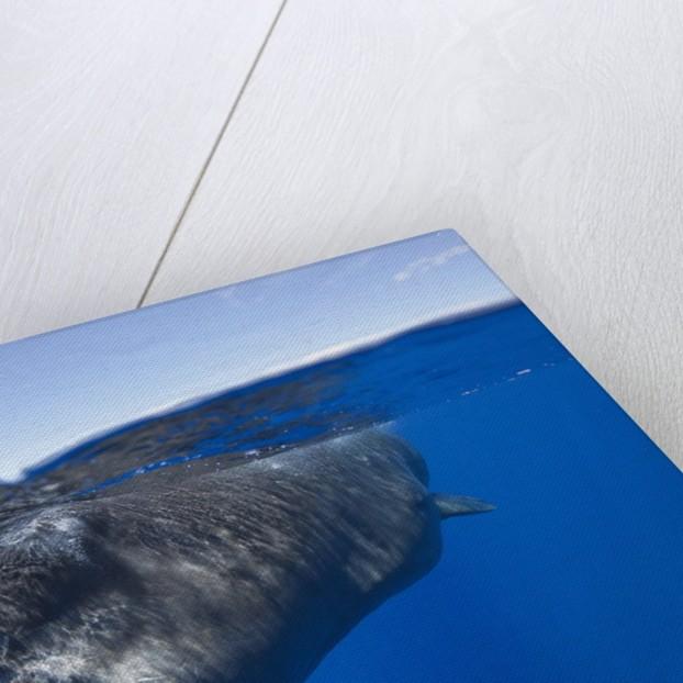 Sperm Whale (Physeter macrocephalus) by Corbis