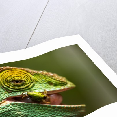Parsons Chameleon Eats Grasshopper, Madagascar by Corbis