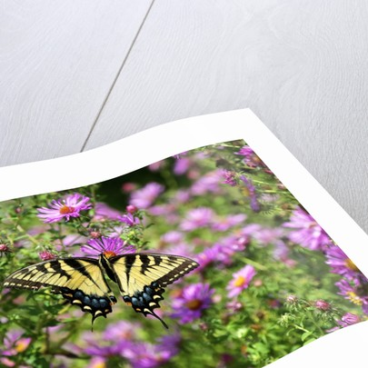 Fluted Swallowtail butterfly on flower by Corbis