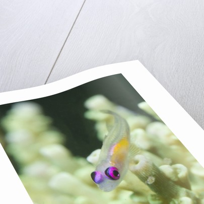 Redeye Hovering Goby by Corbis