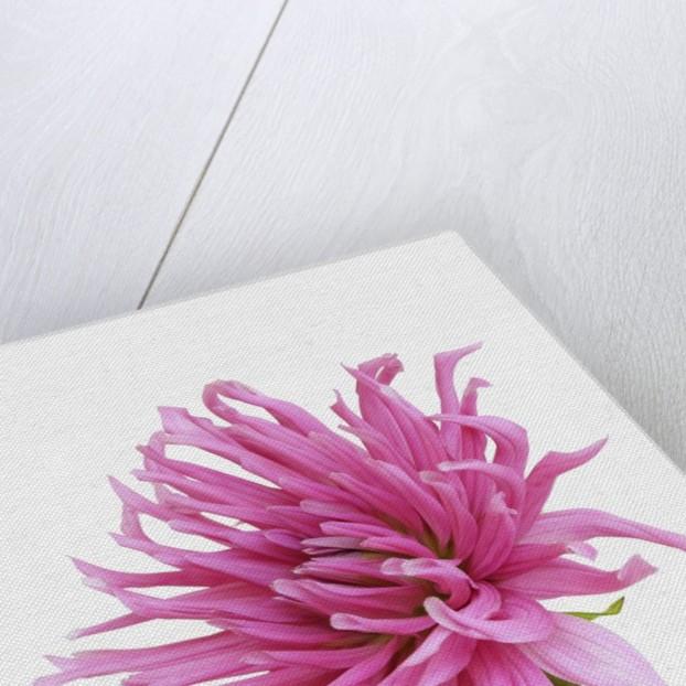 Cactus dahlia by Corbis