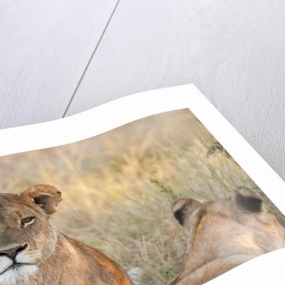 Lion (Panthera leo) by Corbis