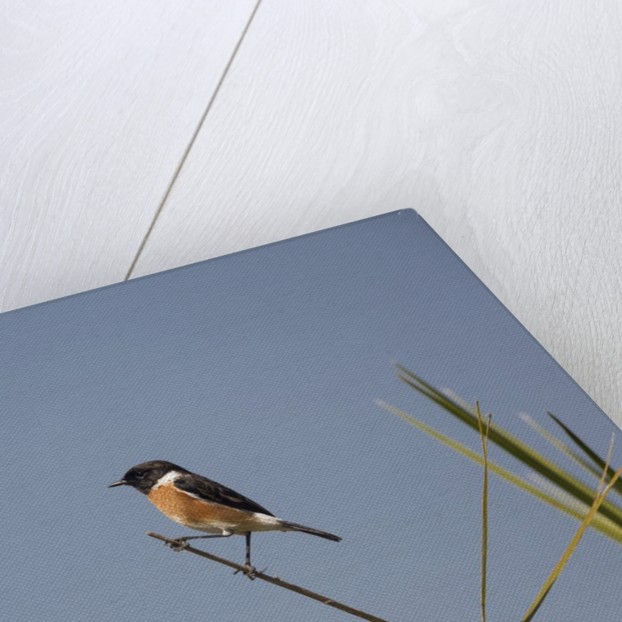 Swallow by Corbis
