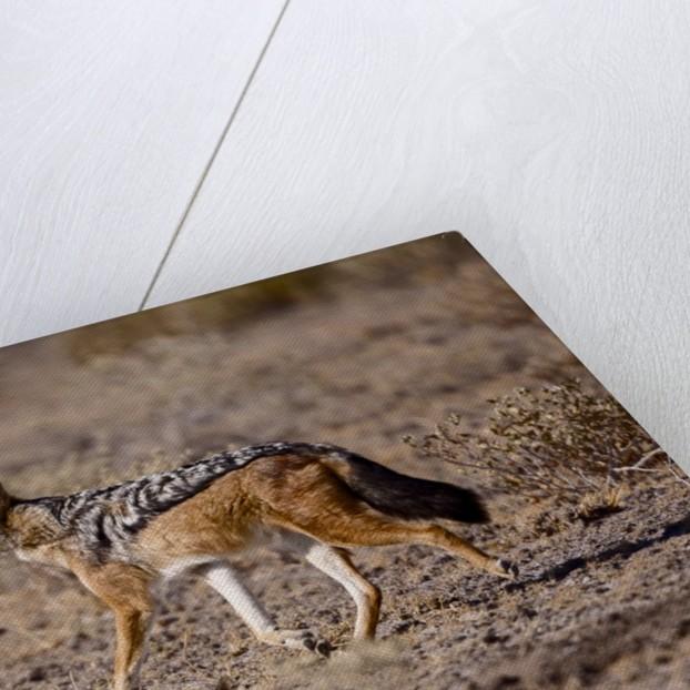 Cape Fox by Corbis
