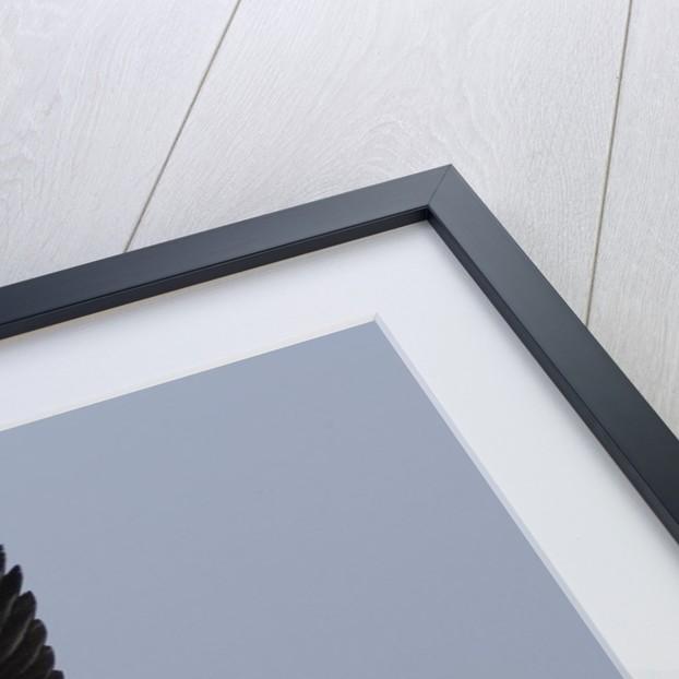 Black-Necked Stilt in flight by Corbis
