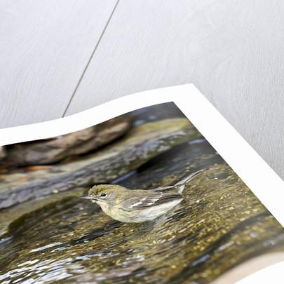 Pine Warbler (1st year) by Corbis