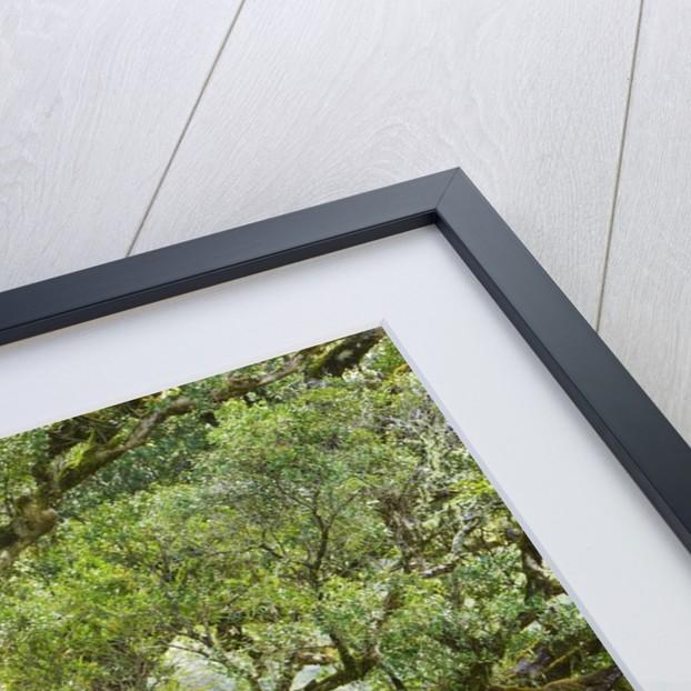 Temperate rainforest by Corbis