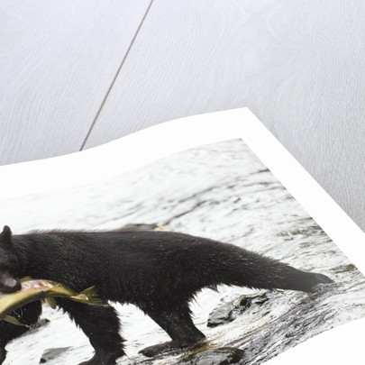 Black bear fishing by Corbis
