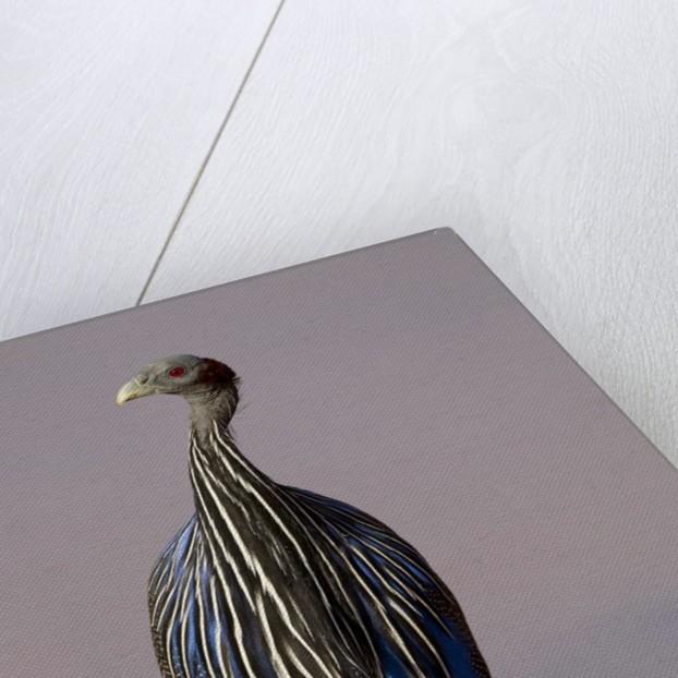 vulturine guineafowl by Corbis