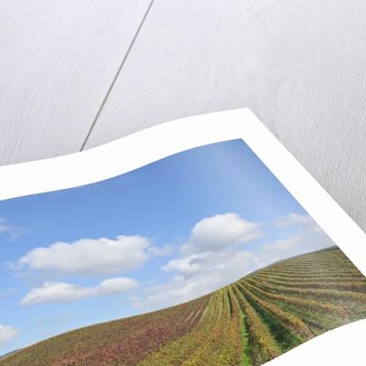 Vineyards near Poggio alle Mura by Corbis