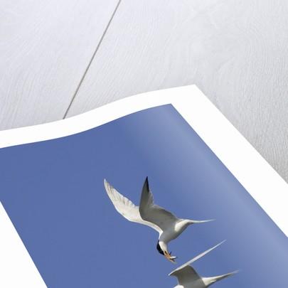 Elegant Terns in flight by Corbis