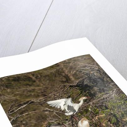 Cattle Egret with chicks at Wakodahatchee Wetlands. by Corbis