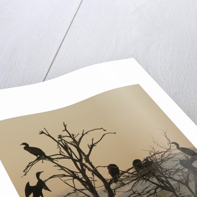 Cormorant silhouettes in a tree at the Wakodahatchee Wetlands by Corbis