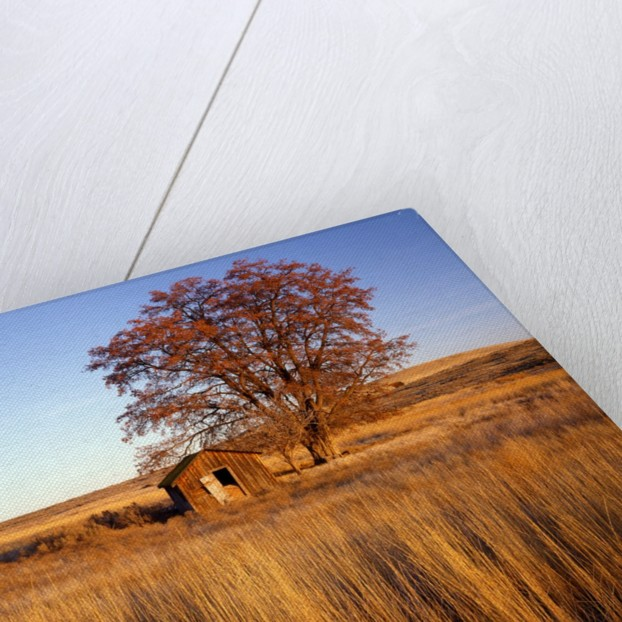 Shed and locust tree in evening light by Corbis