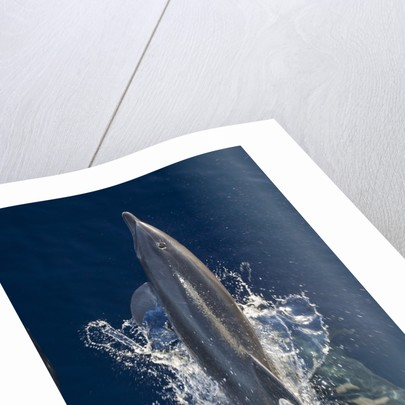 Dolphin frolicking at the surface. by Corbis