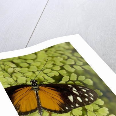 A tropical butterfly rests on a fern leaf by Corbis