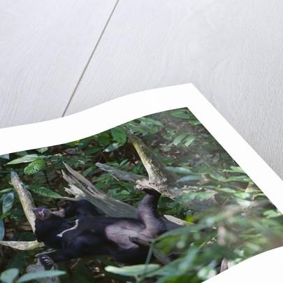 A sun bear (Helarctos malayanus) at the Bornean Sun Bear Conservation Center by Corbis