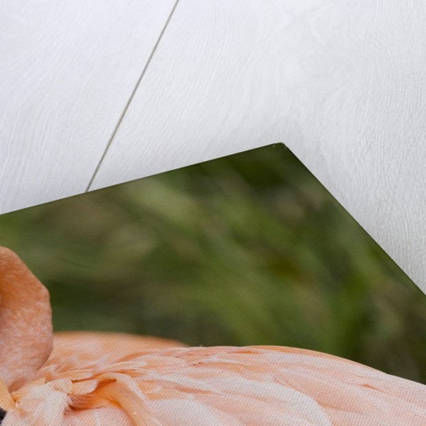 American flamingo taking care of its feathers by Corbis