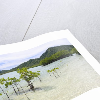 Young and mature mangrove trees by Corbis