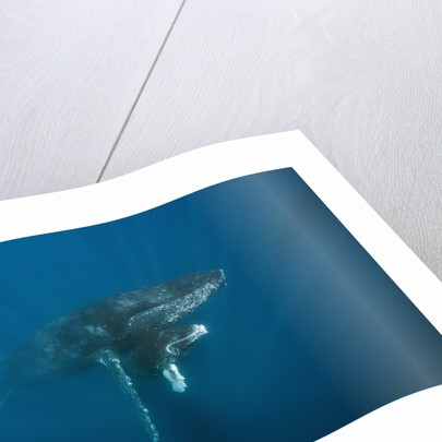 Humpback Whale female and calf (Megaptera novaeangliae) by Corbis