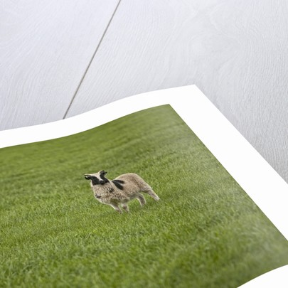 Lone sheep in the grass. by Corbis