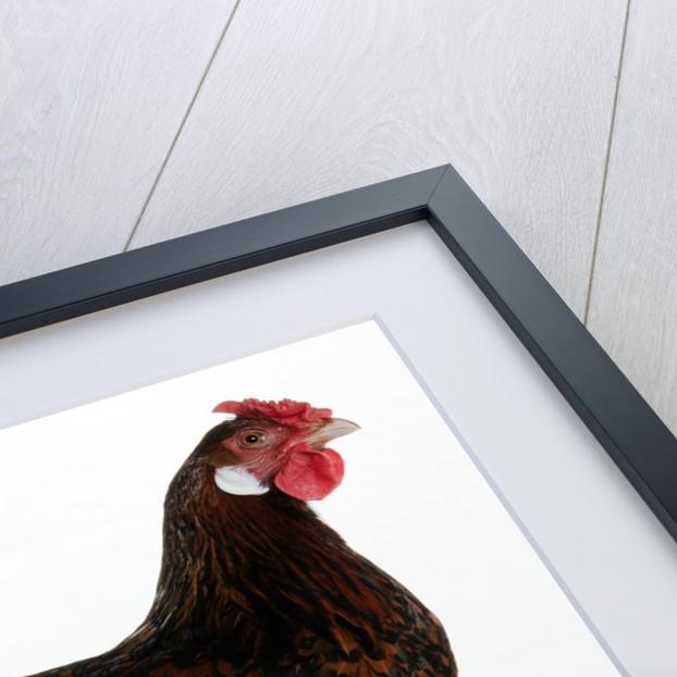Derbyshire Redcap Hen by Corbis