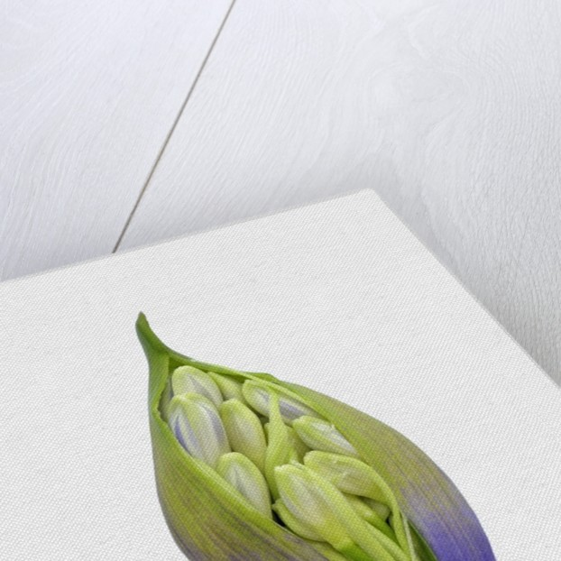 Lily of the Nile bud by Corbis