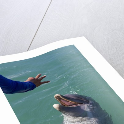 Bottlenose dolphin interacts with Trainer. by Corbis