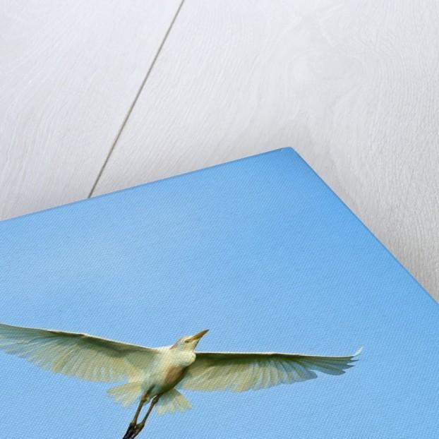 Cattle Egret by Corbis