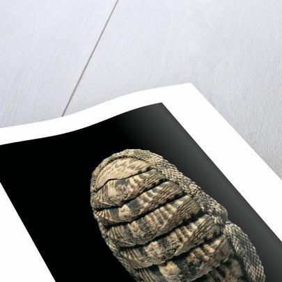 Chiton squamosus by Corbis
